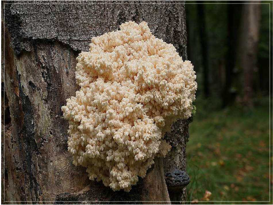 Hericidum coralloides