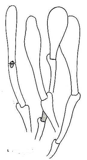 Ziegelroter Risspilz