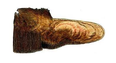 Inonotus hispidus