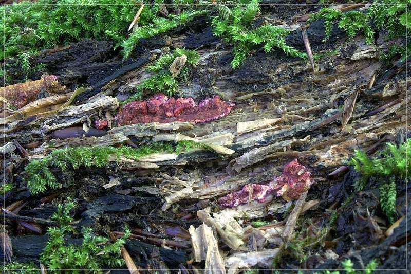 Hypocrea parmastoi – August 2011