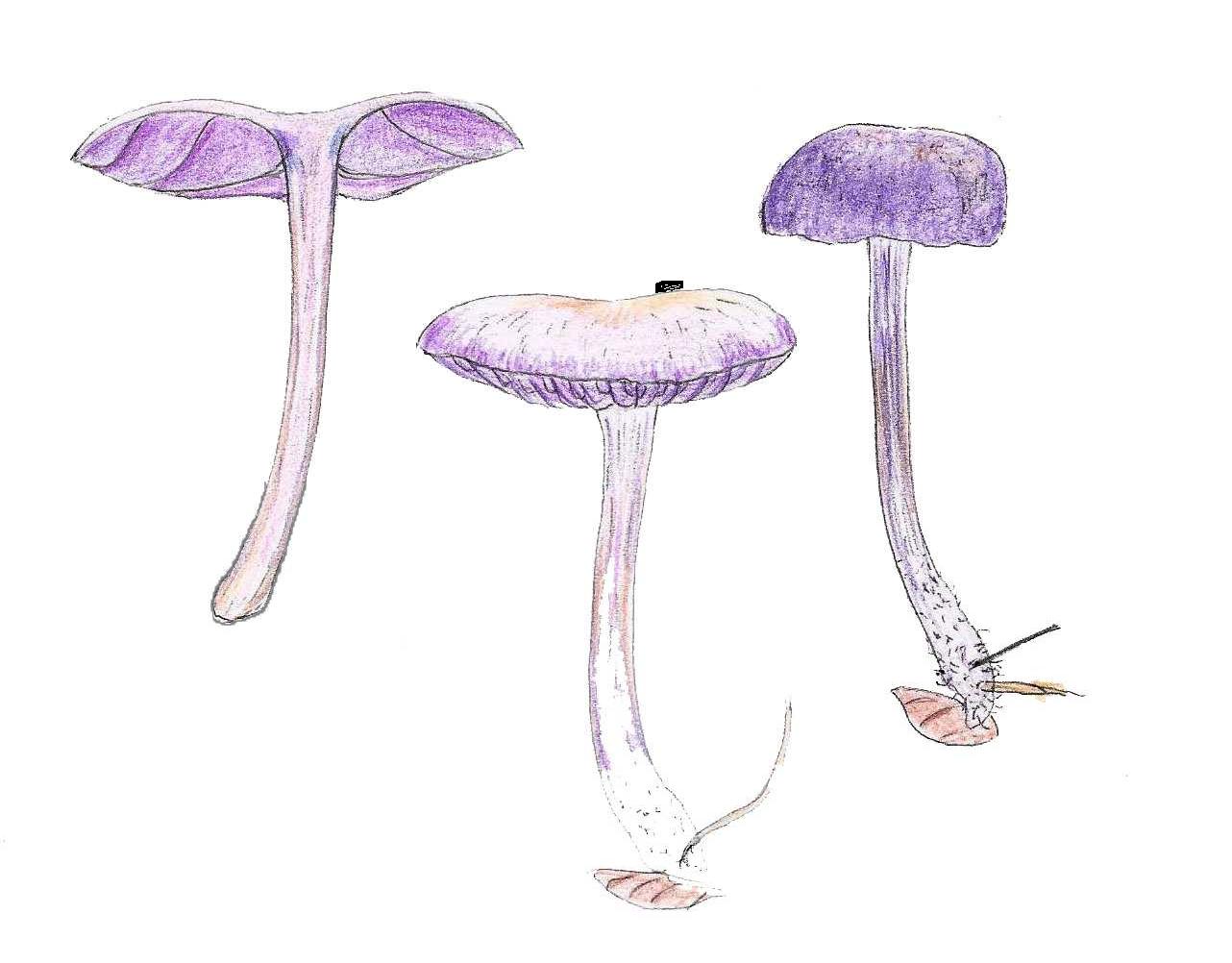 Violetter Farbtrichterling