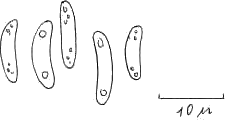 Kleiiger Büschelbecherling