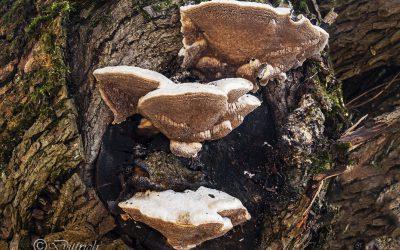 Pilz des Monats Dezember 2018 – Anis-Tramete