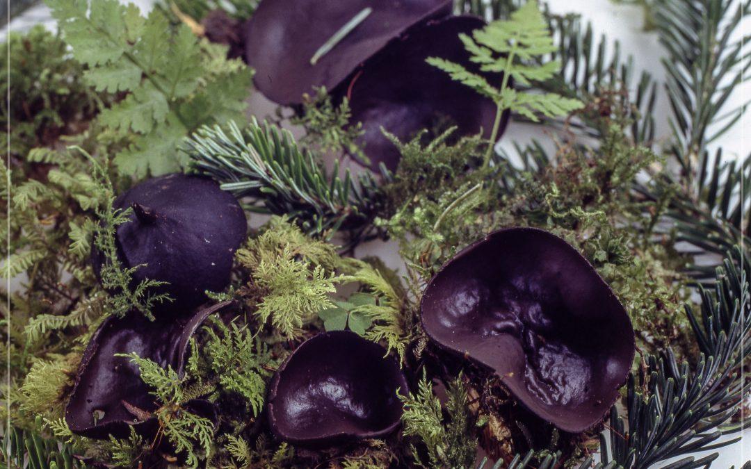 Pilz des Monats Februar 2019 – Tannen-Schwarzborstling