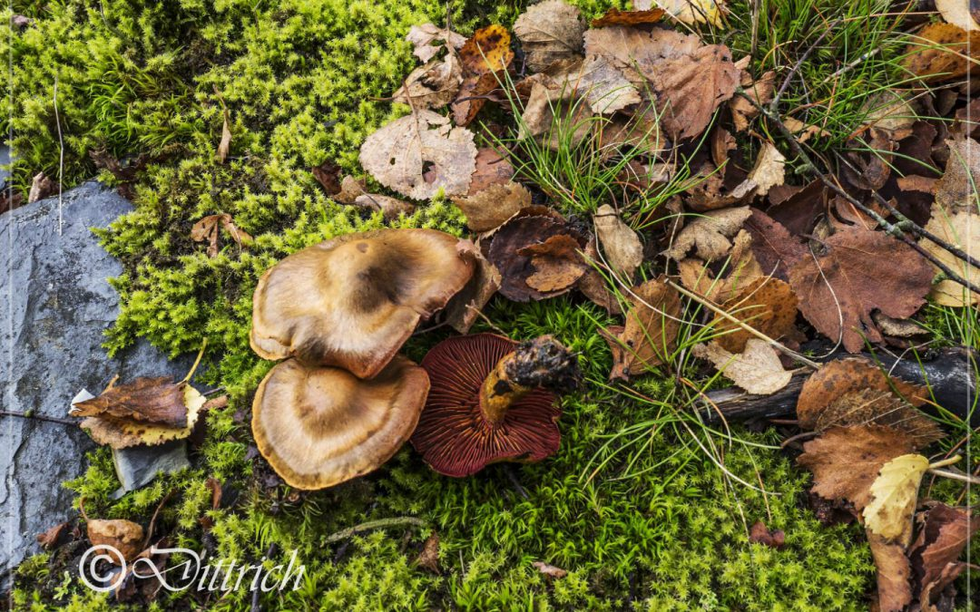 Pilz des Monats September 2019 – Blutblättriger Hautkopf