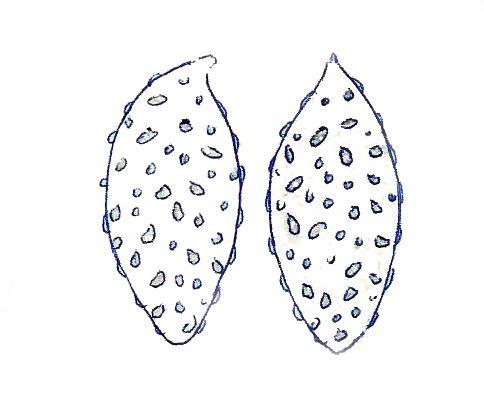 Spore Schleiereule